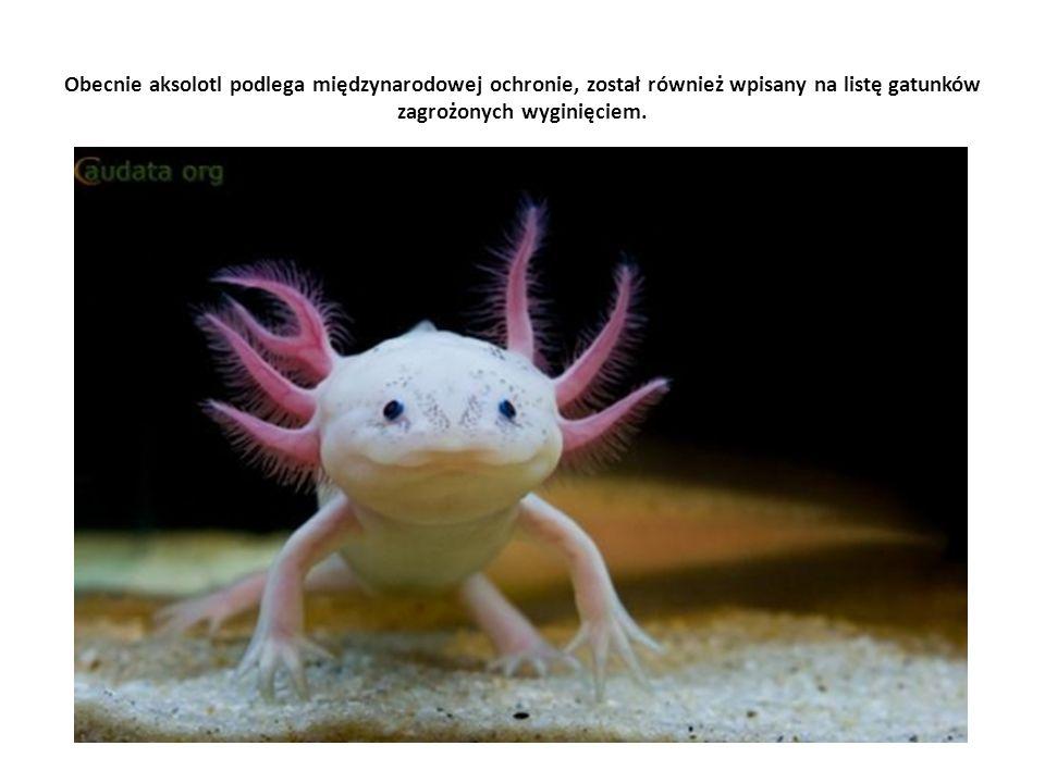 Obecnie aksolotl podlega międzynarodowej ochronie, został również wpisany na listę gatunków zagrożonych wyginięciem.