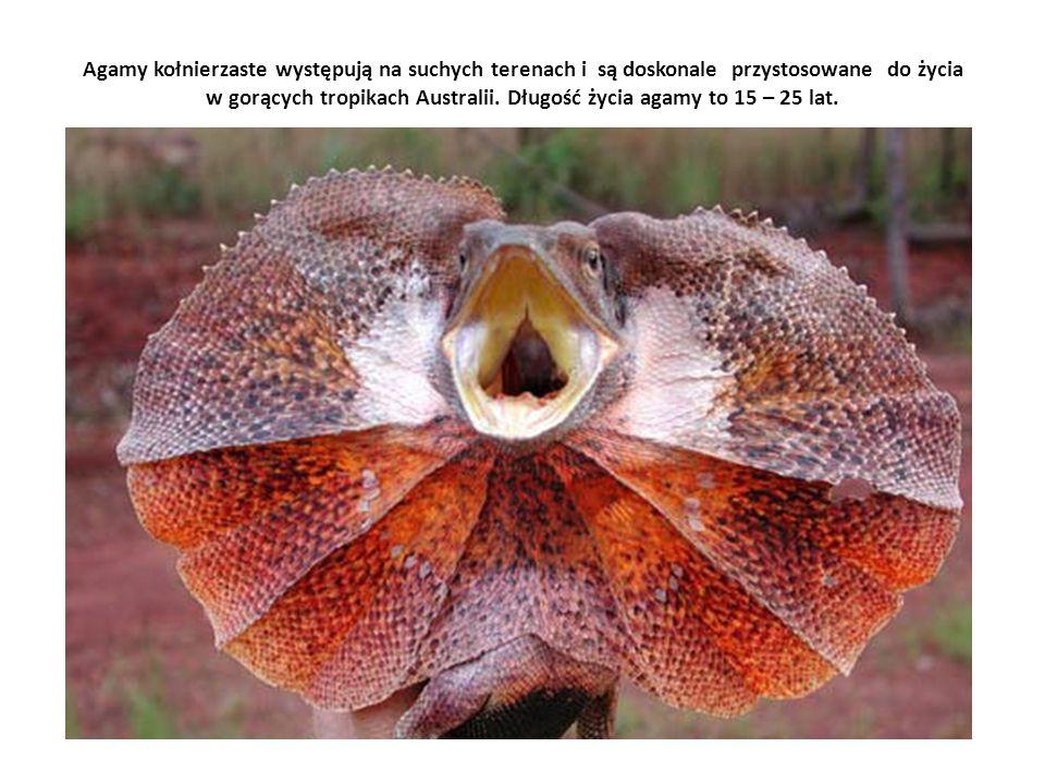 Agamy kołnierzaste występują na suchych terenach i są doskonale przystosowane do życia w gorących tropikach Australii. Długość życia agamy to 15 – 25