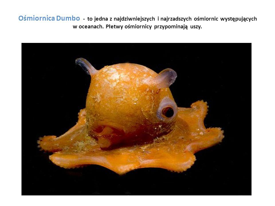 Ośmiornica Dumbo - to jedna z najdziwniejszych i najrzadszych ośmiornic występujących w oceanach. Płetwy ośmiornicy przypominają uszy.