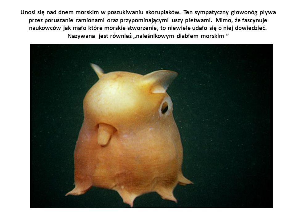 Unosi się nad dnem morskim w poszukiwaniu skorupiaków. Ten sympatyczny głowonóg pływa przez poruszanie ramionami oraz przypominającymi uszy płetwami.