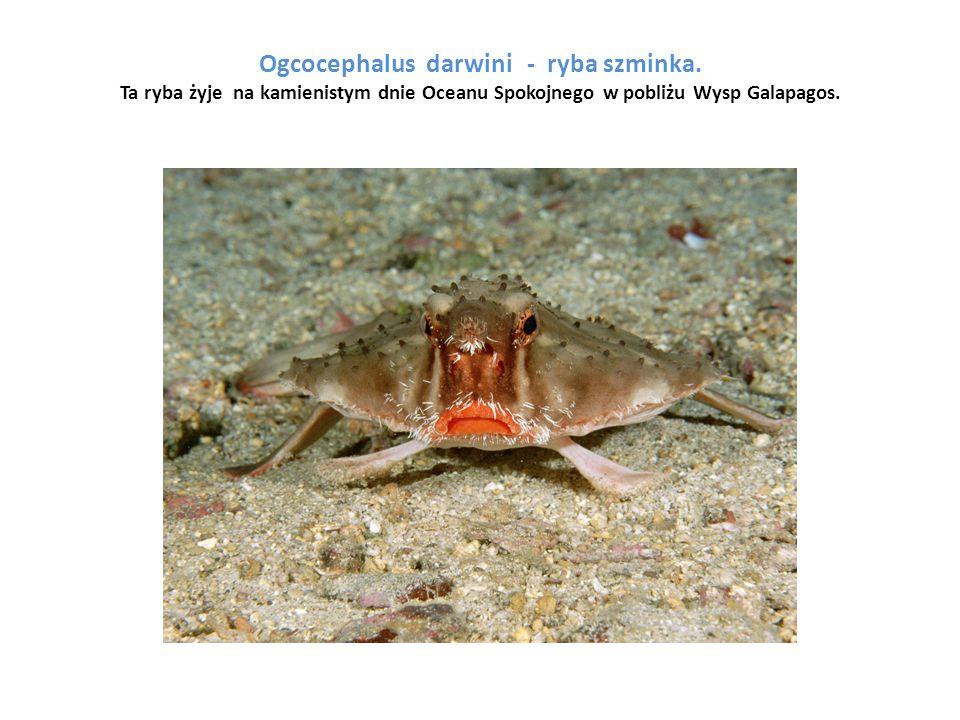 Ogcocephalus darwini - ryba szminka. Ta ryba żyje na kamienistym dnie Oceanu Spokojnego w pobliżu Wysp Galapagos.