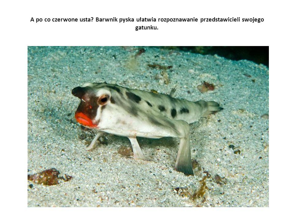 A po co czerwone usta? Barwnik pyska ułatwia rozpoznawanie przedstawicieli swojego gatunku.