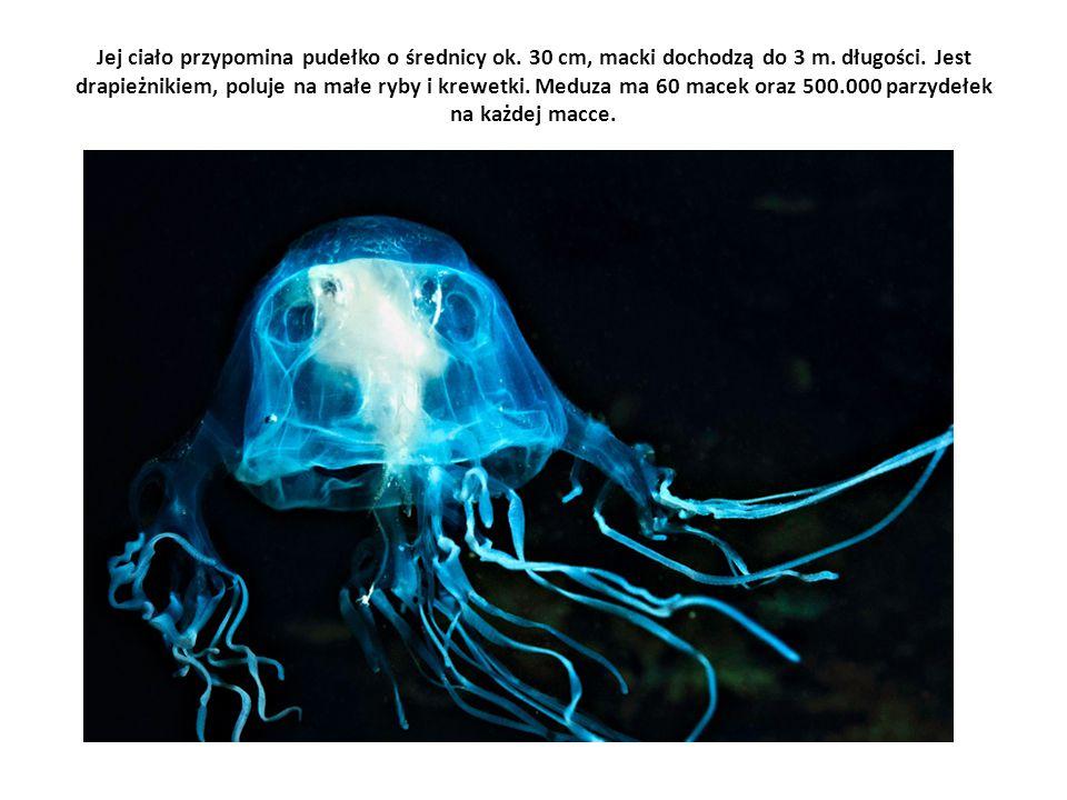 Jej ciało przypomina pudełko o średnicy ok. 30 cm, macki dochodzą do 3 m. długości. Jest drapieżnikiem, poluje na małe ryby i krewetki. Meduza ma 60 m