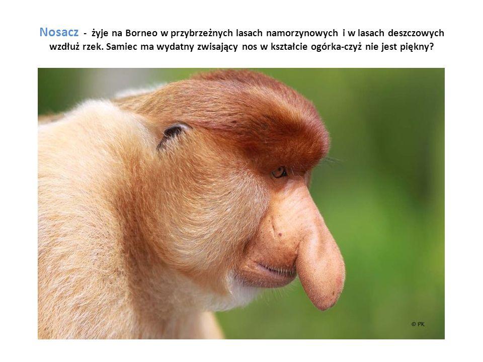 Nosacz - żyje na Borneo w przybrzeżnych lasach namorzynowych i w lasach deszczowych wzdłuż rzek. Samiec ma wydatny zwisający nos w kształcie ogórka-cz