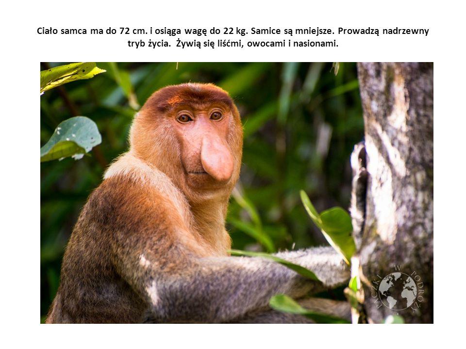 Ciało samca ma do 72 cm. i osiąga wagę do 22 kg. Samice są mniejsze. Prowadzą nadrzewny tryb życia. Żywią się liśćmi, owocami i nasionami.