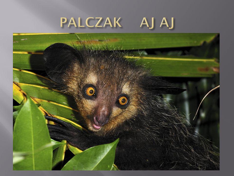 Palczak Aj Aj Gatunek małpiatki, jedyny, ostatni przedstawiciel rodziny palczakowatych.