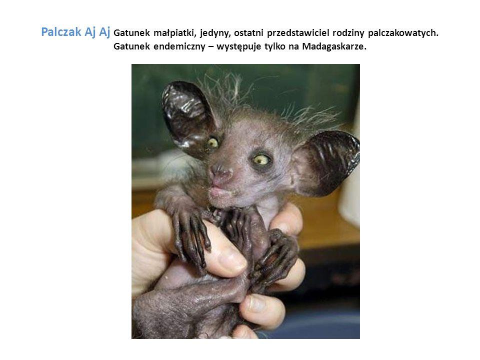Palczak Aj Aj Gatunek małpiatki, jedyny, ostatni przedstawiciel rodziny palczakowatych. Gatunek endemiczny – występuje tylko na Madagaskarze.