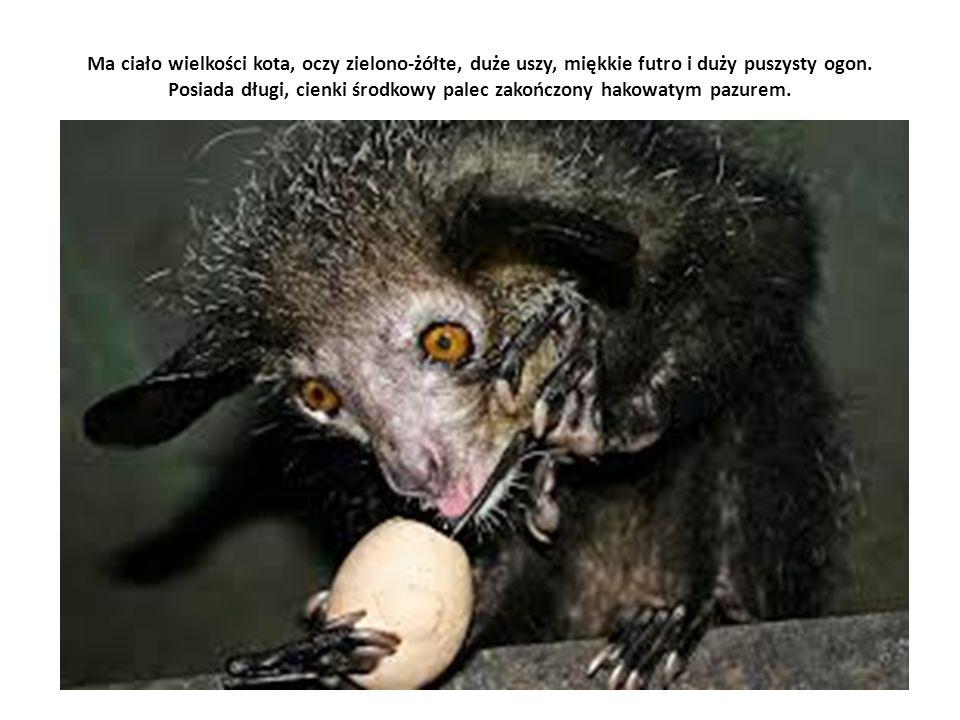 Ma ciało wielkości kota, oczy zielono-żółte, duże uszy, miękkie futro i duży puszysty ogon. Posiada długi, cienki środkowy palec zakończony hakowatym