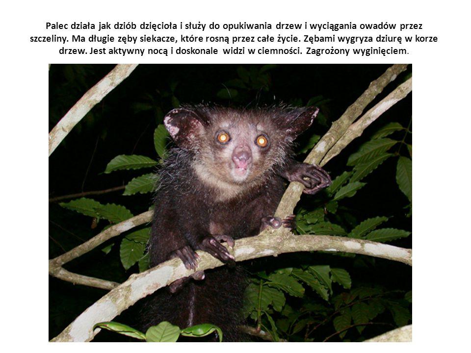 Palec działa jak dziób dzięcioła i służy do opukiwania drzew i wyciągania owadów przez szczeliny. Ma długie zęby siekacze, które rosną przez całe życi
