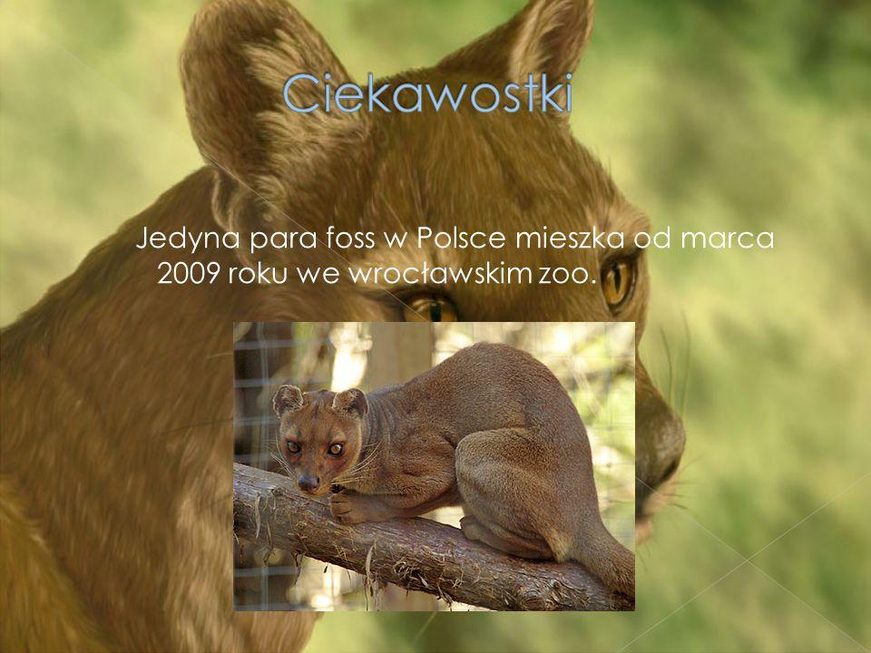 Jedyna para foss w Polsce mieszka od marca 2009 roku we wrocławskim zoo.