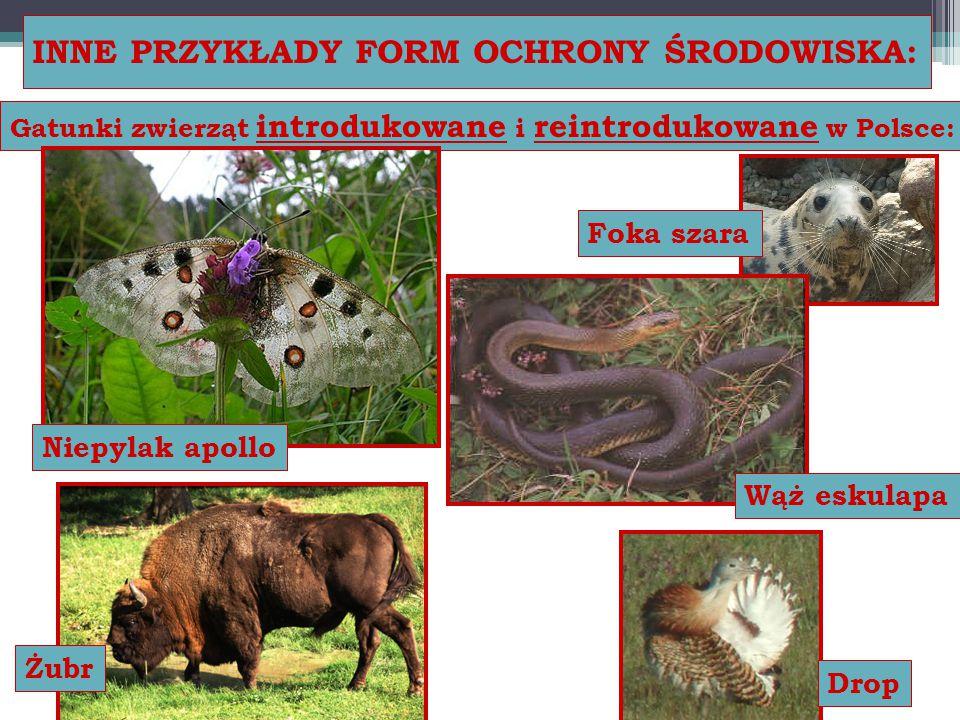 INNE PRZYKŁADY FORM OCHRONY ŚRODOWISKA: Gatunki zwierząt introdukowane i reintrodukowane w Polsce: Foka szara Niepylak apollo Wąż eskulapa Żubr Drop