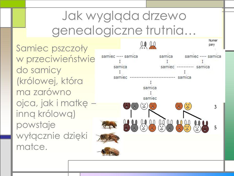 Ciąg Fibonacciego w przyrodzie Jak wygląda drzewo genealogiczne trutnia… Samiec pszczoły w przeciwieństwie do samicy (królowej, która ma zarówno ojca,
