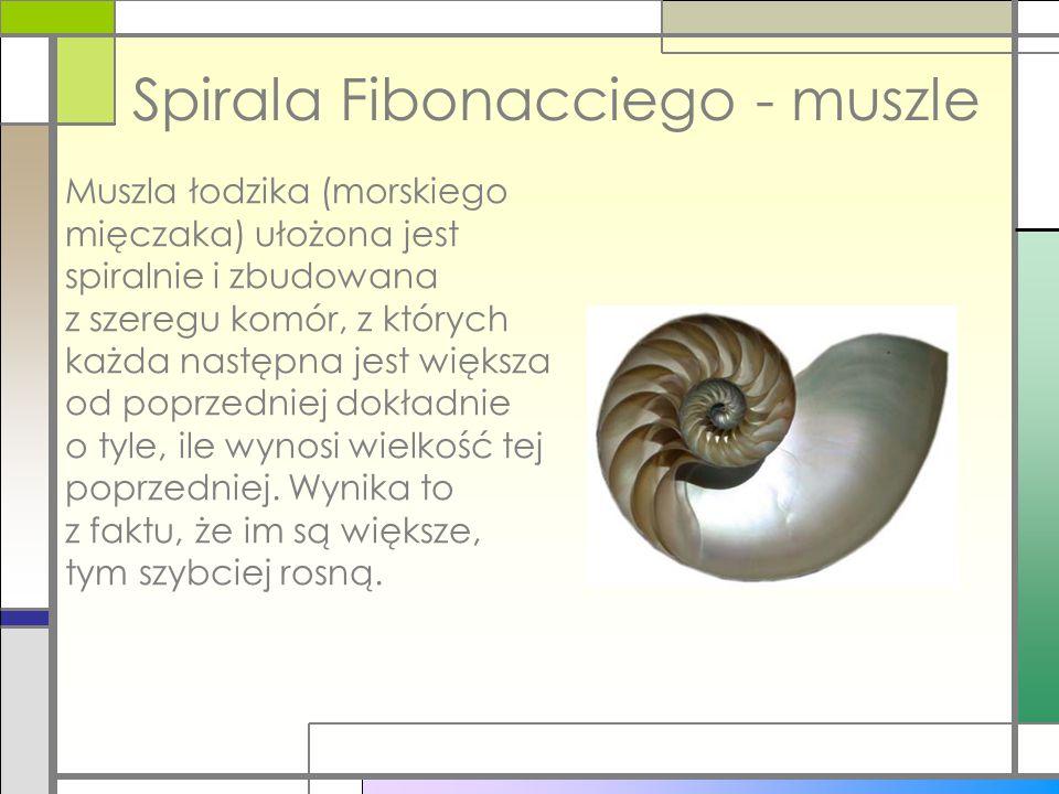 Spirala Fibonacciego - muszle Muszla łodzika (morskiego mięczaka) ułożona jest spiralnie i zbudowana z szeregu komór, z których każda następna jest wi