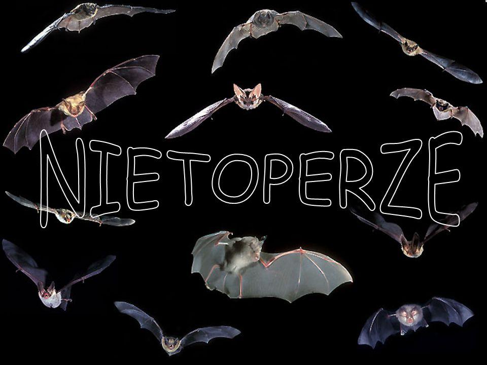 OWADOŻERNE Należy do nich najmniejszy nietoperz świata – - ryjkonos malutki.