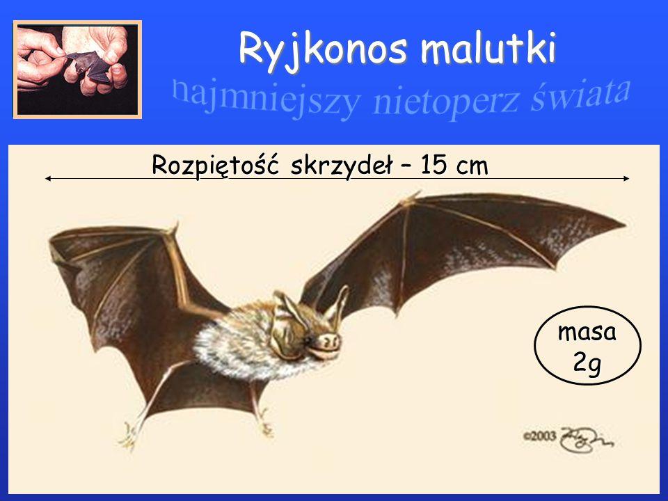 Ryjkonos malutki Rozpiętość skrzydeł – 15 cm masa2g