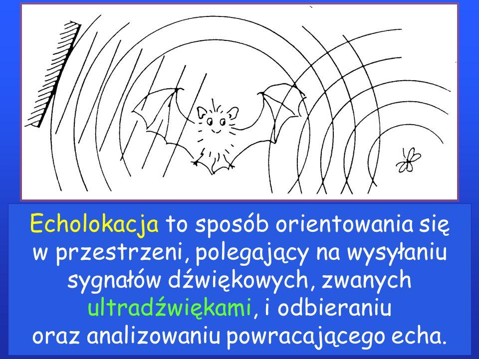 Echolokacja to sposób orientowania się w przestrzeni, polegający na wysyłaniu sygnałów dźwiękowych, zwanych ultradźwiękami, i odbieraniu oraz analizowaniu powracającego echa.