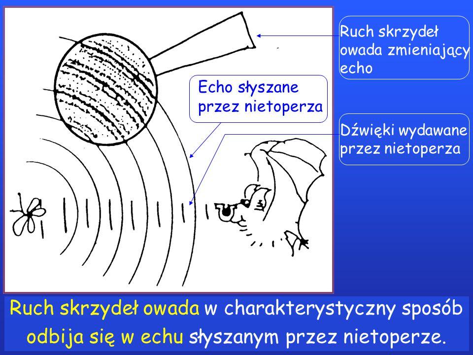 Ruch skrzydeł owada w charakterystyczny sposób odbija się w echu słyszanym przez nietoperze.