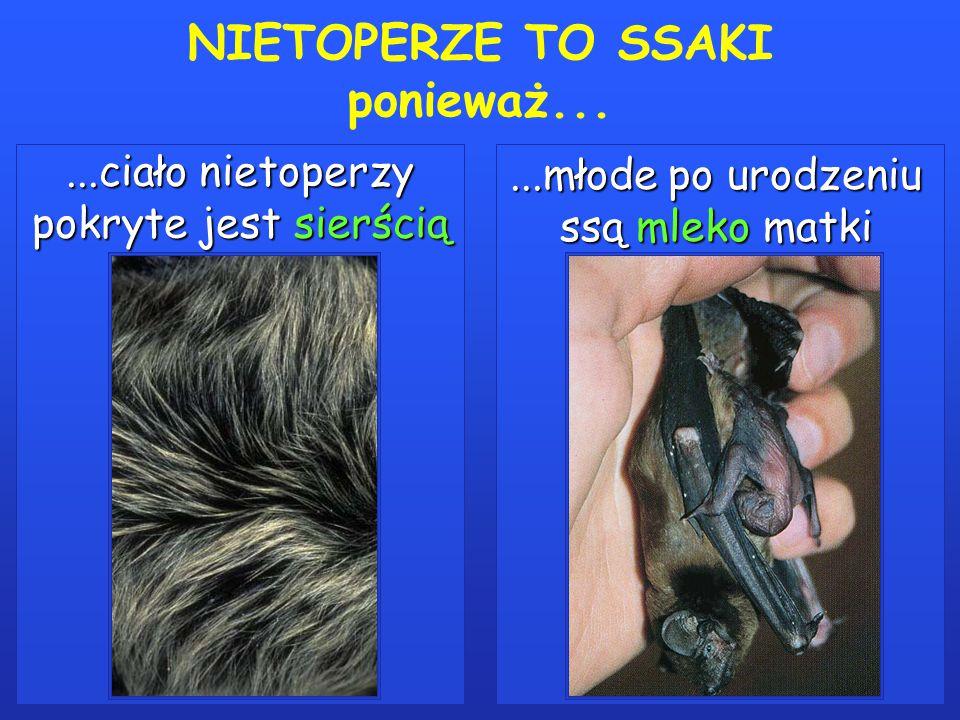 NIETOPERZE TO SSAKI ponieważ......ciało nietoperzy pokryte jest sierścią...młode po urodzeniu ssą mleko matki