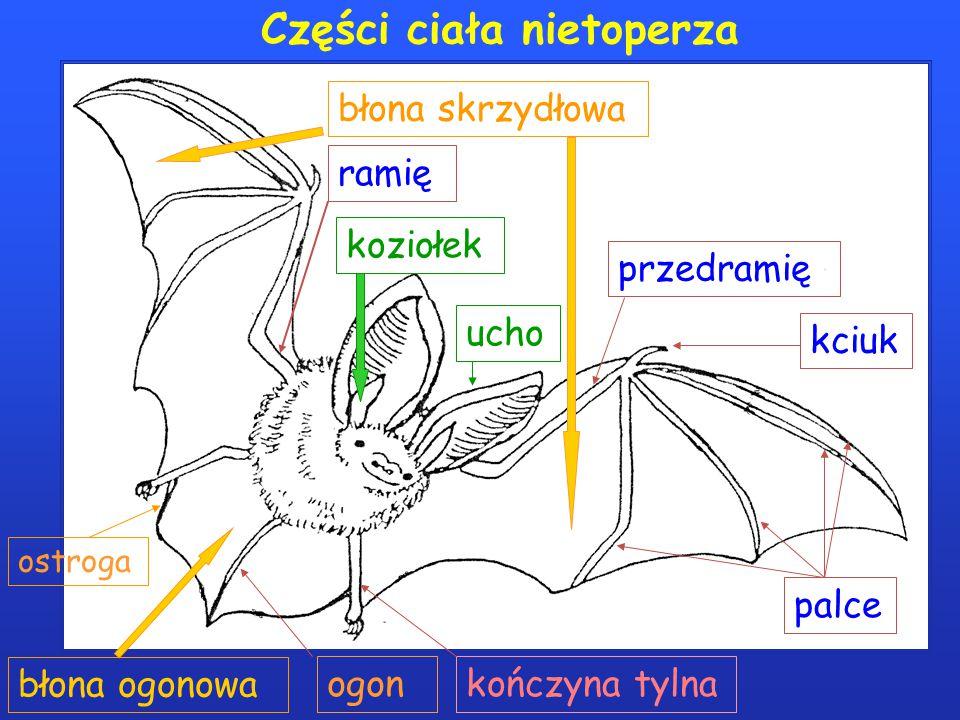 Części ciała nietoperza kciuk palce błona skrzydłowa błona ogonowa ogon ostroga przedramię ramię kończyna tylna ucho koziołek