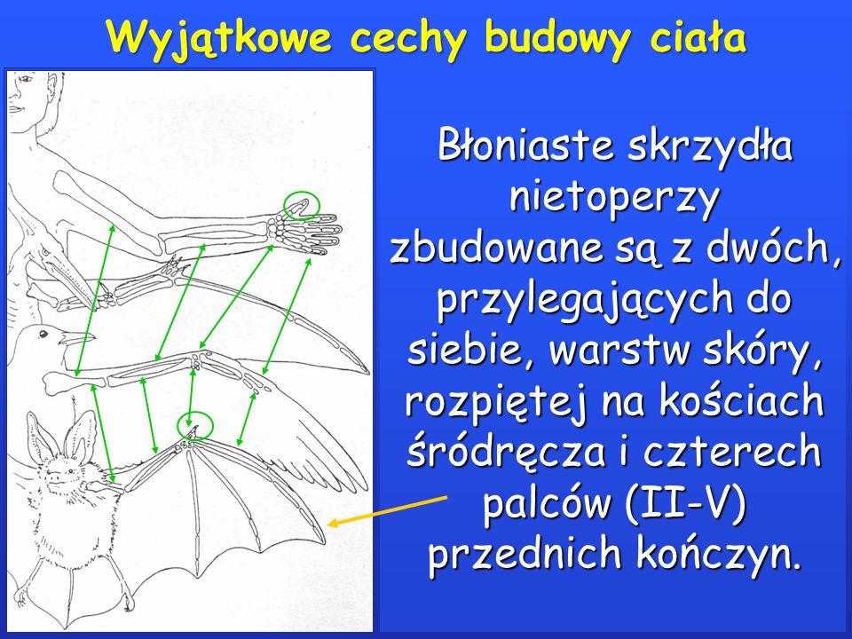 Wyjątkowe cechy budowy ciała Błoniaste skrzydła nietoperzy zbudowane są z dwóch, przylegających do siebie, warstw skóry, rozpiętej na kościach śródręcza i czterech palców (II-V) przednich kończyn.