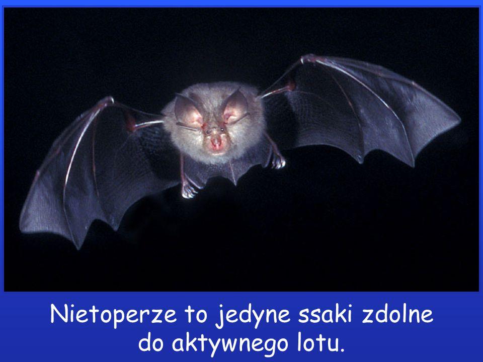 Nietoperze to jedyne ssaki zdolne do aktywnego lotu.