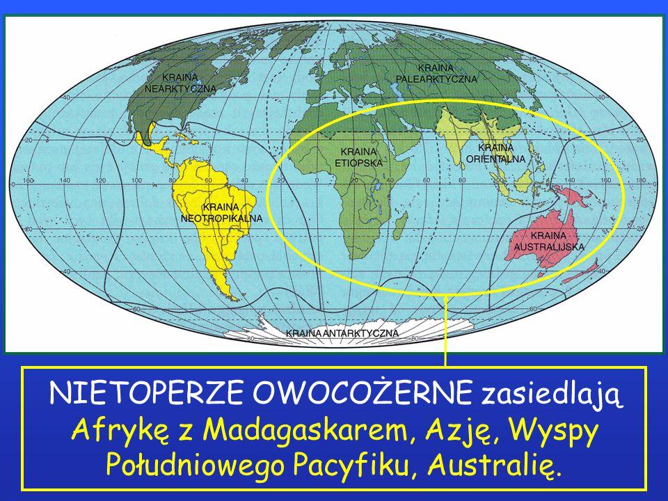 NIETOPERZE OWOCOŻERNE zasiedlają Afrykę z Madagaskarem, Azję, Wyspy Południowego Pacyfiku, Australię.