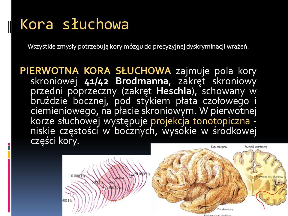 Kora słuchowa Wszystkie zmysły potrzebują kory mózgu do precyzyjnej dyskryminacji wrażeń. PIERWOTNA KORA SŁUCHOWA zajmuje pola kory skroniowej 41/42 B