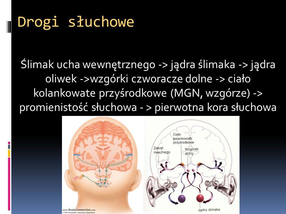 Drogi słuchowe Ślimak ucha wewnętrznego -> jądra ślimaka -> jądra oliwek ->wzgórki czworacze dolne -> ciało kolankowate przyśrodkowe (MGN, wzgórze) ->