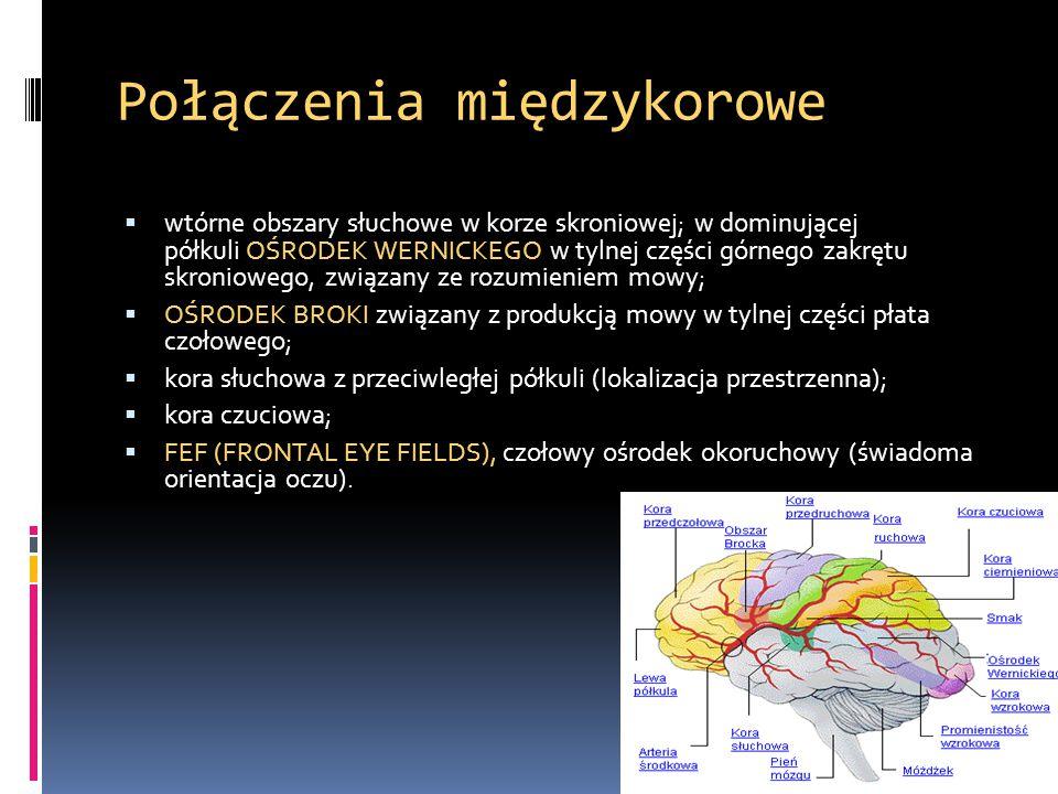 Połączenia międzykorowe  wtórne obszary słuchowe w korze skroniowej; w dominującej półkuli OŚRODEK WERNICKEGO w tylnej części górnego zakrętu skronio