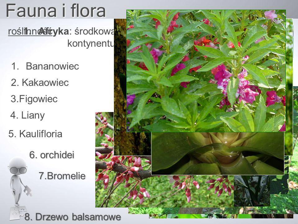 Fauna i flora 1.Afryka: środkowa część kontynentu roślinność 1.Bananowiec 2. Kakaowiec 3.Figowiec 4. Liany 5. Kaulifloria 6. orchidei 7.Bromelie 8. Dr