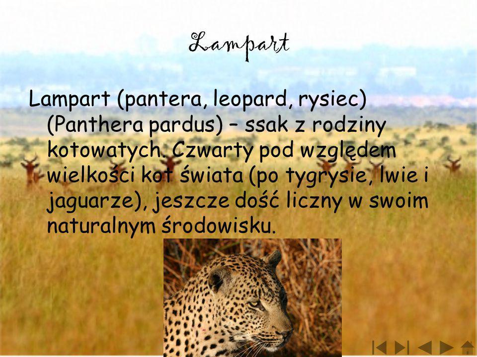 Lampart Lampart (pantera, leopard, rysiec) (Panthera pardus) – ssak z rodziny kotowatych. Czwarty pod względem wielkości kot świata (po tygrysie, lwie