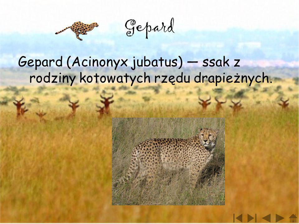 Gepard Gepard (Acinonyx jubatus) — ssak z rodziny kotowatych rzędu drapieżnych.