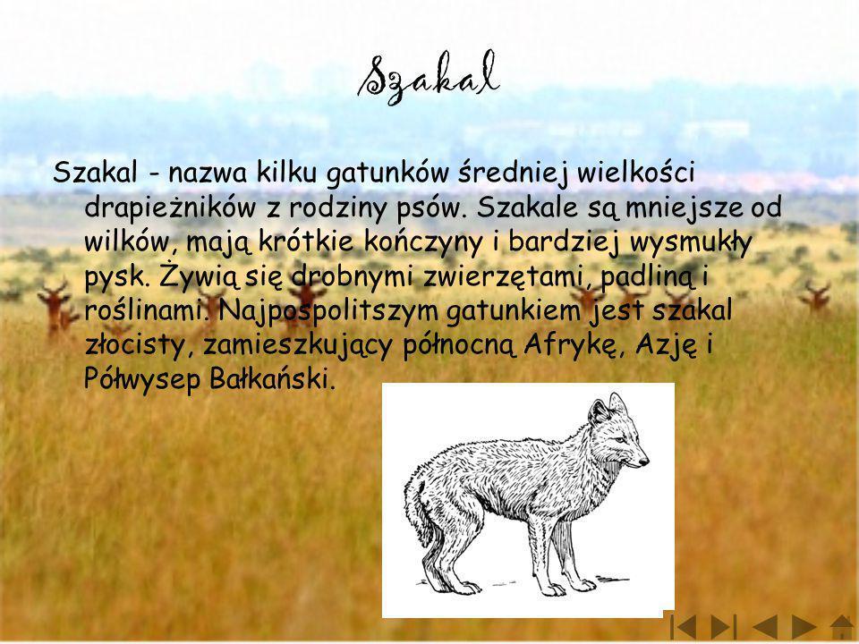 Szakal Szakal - nazwa kilku gatunków średniej wielkości drapieżników z rodziny psów. Szakale są mniejsze od wilków, mają krótkie kończyny i bardziej w