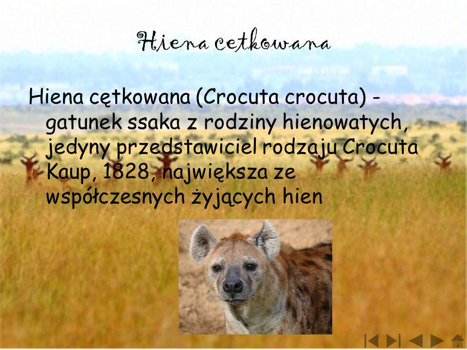 Hiena cetkowana Hiena cętkowana (Crocuta crocuta) - gatunek ssaka z rodziny hienowatych, jedyny przedstawiciel rodzaju Crocuta Kaup, 1828, największa