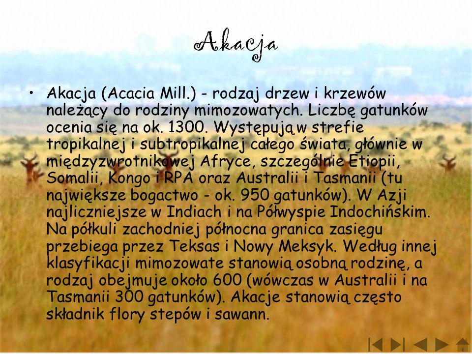 Akacja Akacja (Acacia Mill.) - rodzaj drzew i krzewów należący do rodziny mimozowatych. Liczbę gatunków ocenia się na ok. 1300. Występują w strefie tr