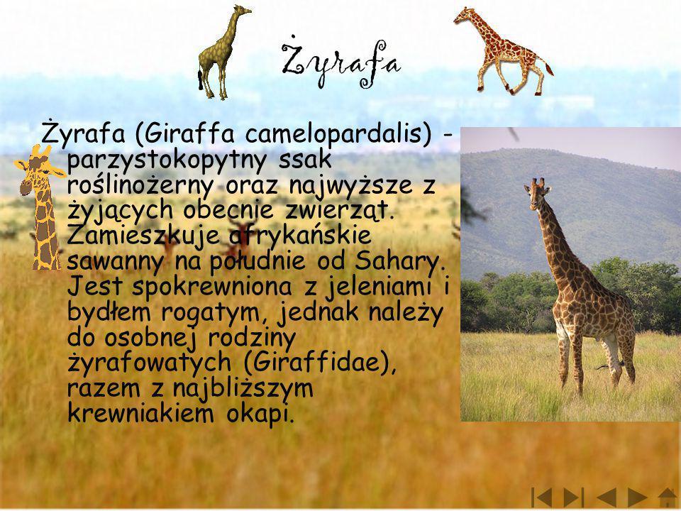 Zyrafa Żyrafa (Giraffa camelopardalis) - parzystokopytny ssak roślinożerny oraz najwyższe z żyjących obecnie zwierząt. Zamieszkuje afrykańskie sawanny