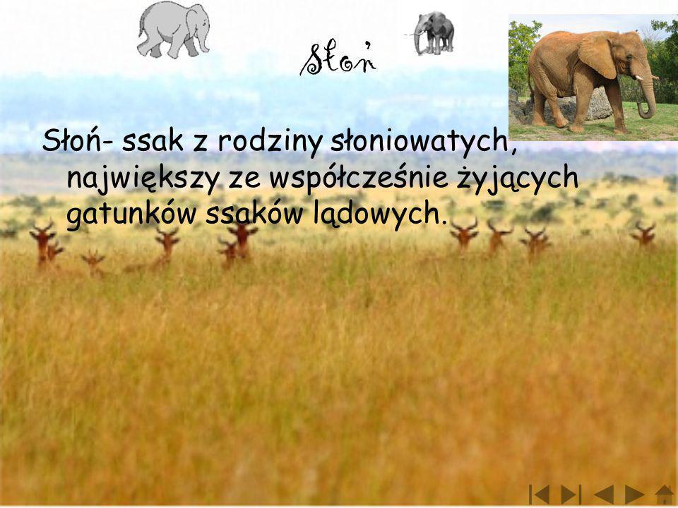 Słon Słoń- ssak z rodziny słoniowatych, największy ze współcześnie żyjących gatunków ssaków lądowych.,