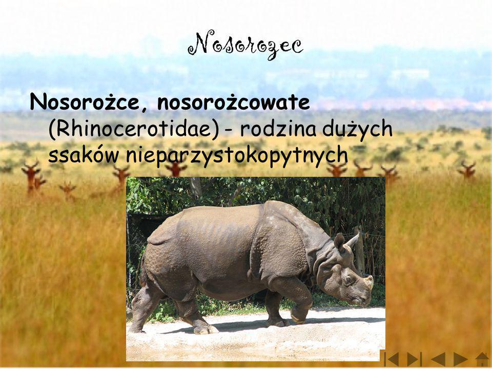 Nosorozec Nosorożce, nosorożcowate (Rhinocerotidae) - rodzina dużych ssaków nieparzystokopytnych