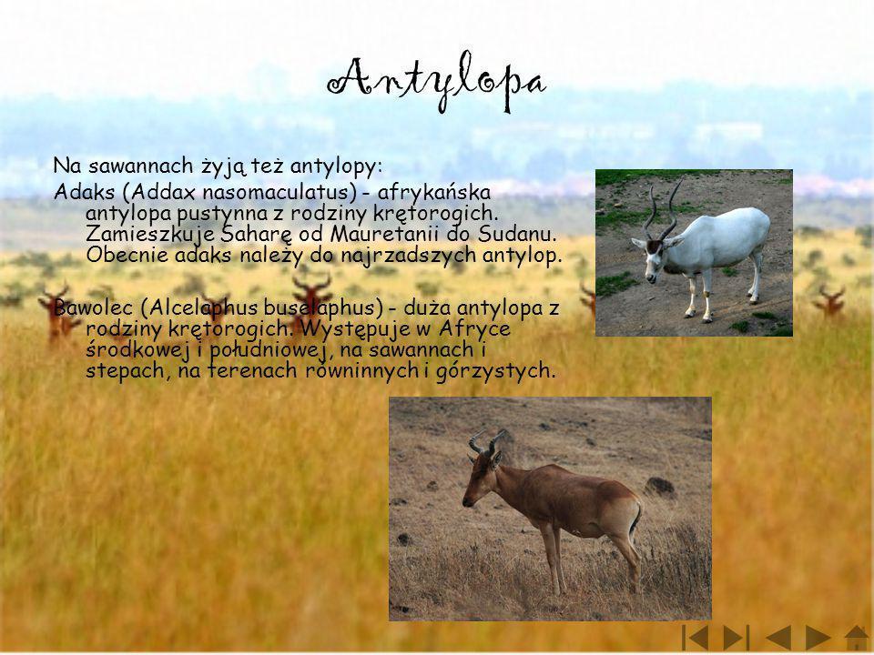 Antylopa Na sawannach żyją też antylopy: Adaks (Addax nasomaculatus) - afrykańska antylopa pustynna z rodziny krętorogich. Zamieszkuje Saharę od Maure