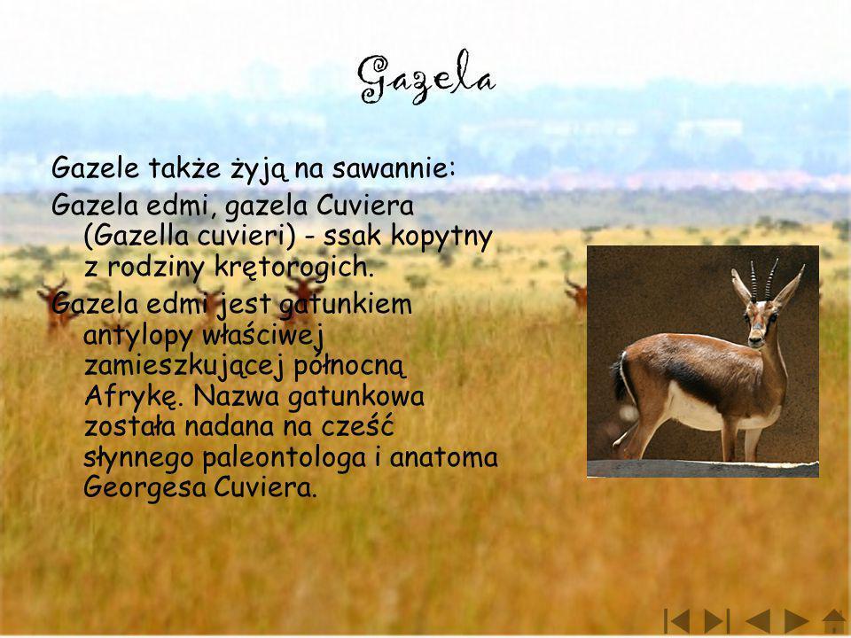 Gazela Gazele także żyją na sawannie: Gazela edmi, gazela Cuviera (Gazella cuvieri) - ssak kopytny z rodziny krętorogich. Gazela edmi jest gatunkiem a
