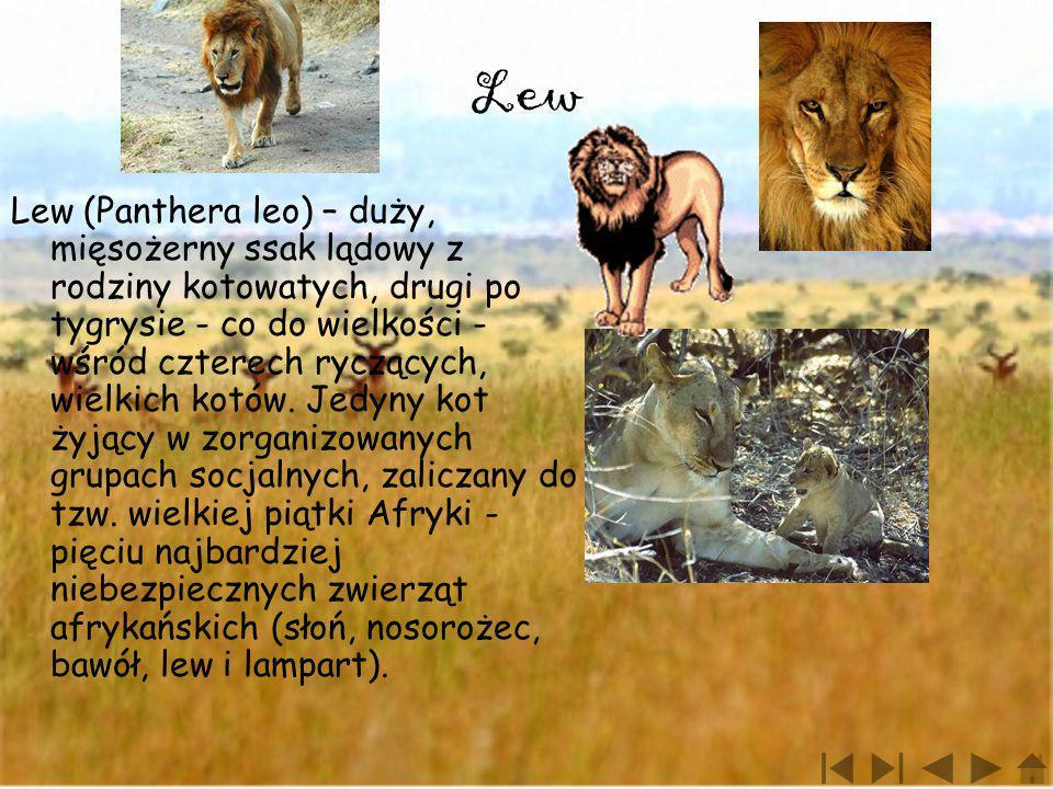 Lew Lew (Panthera leo) – duży, mięsożerny ssak lądowy z rodziny kotowatych, drugi po tygrysie - co do wielkości - wśród czterech ryczących, wielkich k