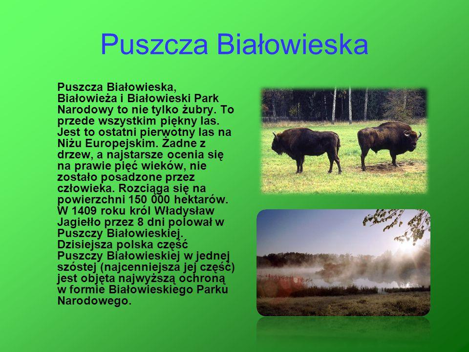 Puszcza Białowieska Puszcza Białowieska, Białowieża i Białowieski Park Narodowy to nie tylko żubry. To przede wszystkim piękny las. Jest to ostatni pi