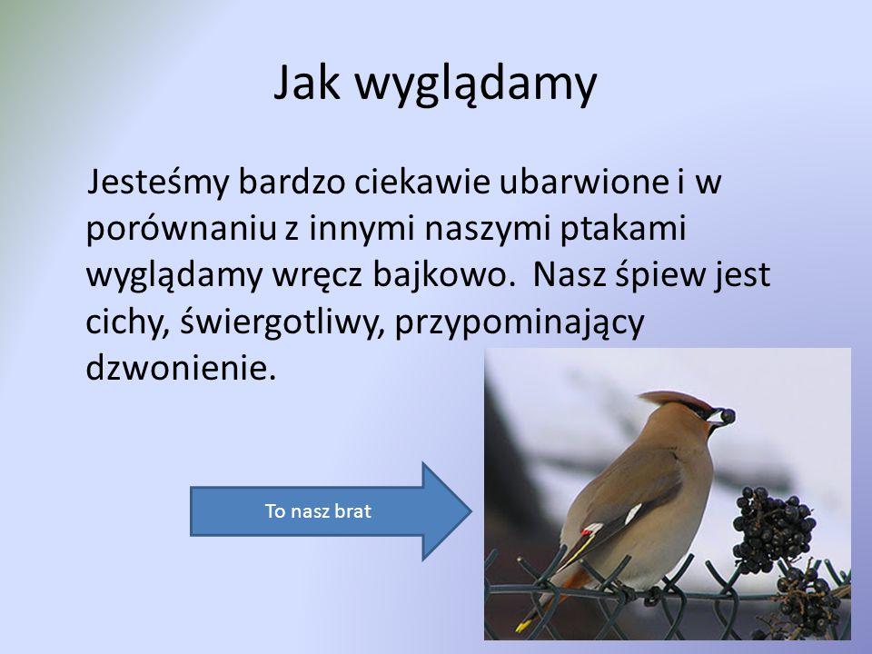 Jak wyglądamy Jesteśmy bardzo ciekawie ubarwione i w porównaniu z innymi naszymi ptakami wyglądamy wręcz bajkowo.
