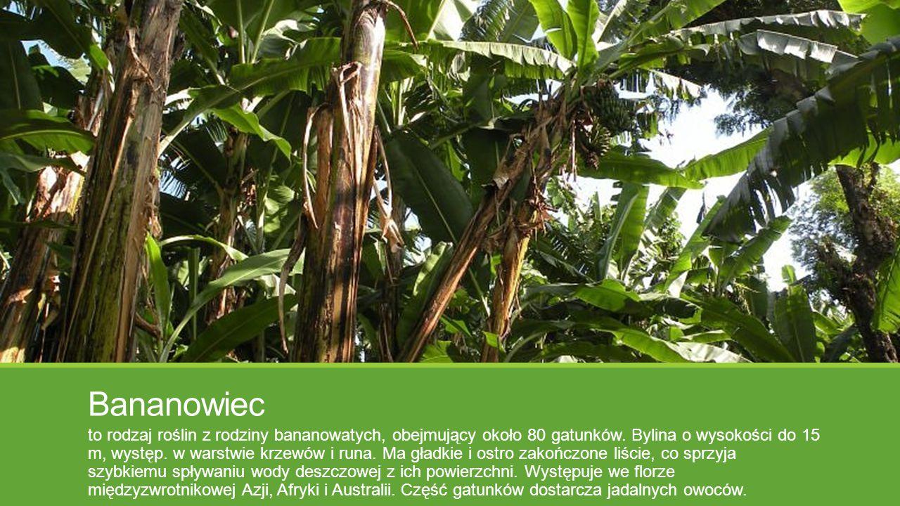 Bananowiec to rodzaj roślin z rodziny bananowatych, obejmujący około 80 gatunków. Bylina o wysokości do 15 m, występ. w warstwie krzewów i runa. Ma gł