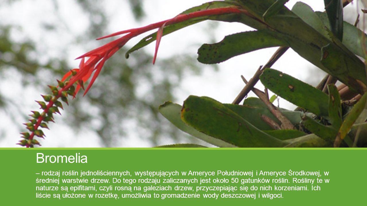 Bromelia – rodzaj roślin jednoliściennych, występujących w Ameryce Południowej i Ameryce Środkowej, w średniej warstwie drzew. Do tego rodzaju zalicza