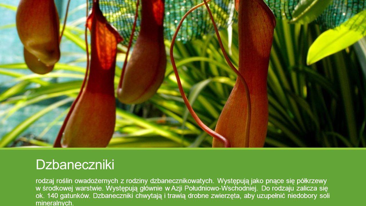 Dzbaneczniki rodzaj roślin owadożernych z rodziny dzbanecznikowatych. Występują jako pnące się półkrzewy w środkowej warstwie. Występują głównie w Azj