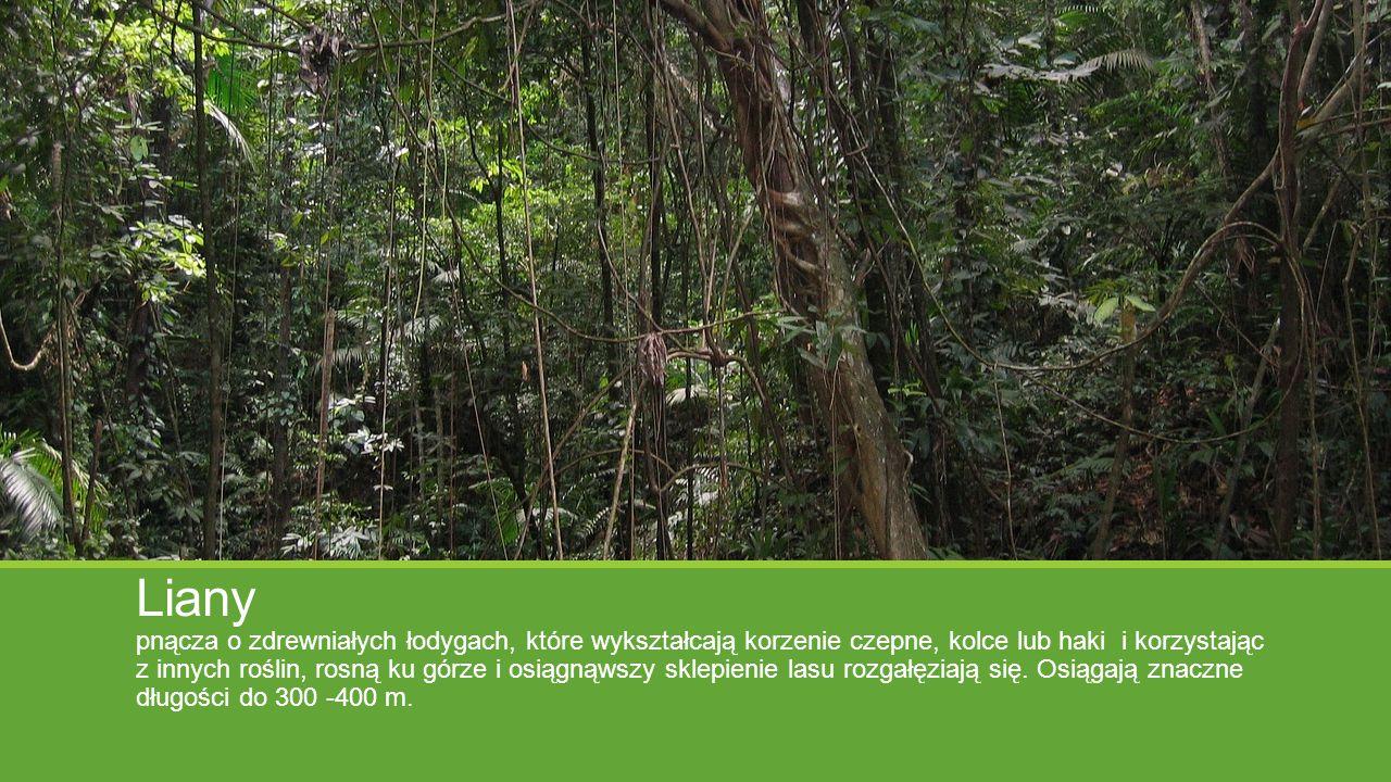 Liany pnącza o zdrewniałych łodygach, które wykształcają korzenie czepne, kolce lub haki i korzystając z innych roślin, rosną ku górze i osiągnąwszy s