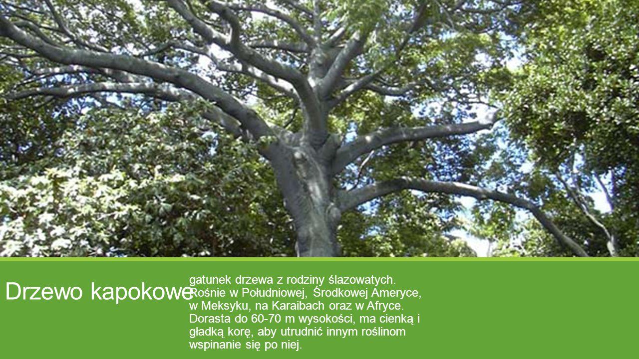 Drzewo kapokowe gatunek drzewa z rodziny ślazowatych. Rośnie w Południowej, Środkowej Ameryce, w Meksyku, na Karaibach oraz w Afryce. Dorasta do 60-70