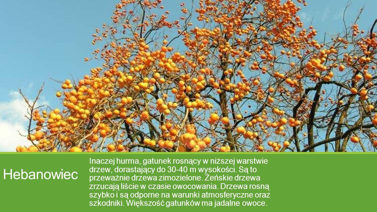 Hebanowiec Inaczej hurma, gatunek rosnący w niższej warstwie drzew, dorastający do 30-40 m wysokości. Są to przeważnie drzewa zimozielone. Żeńskie drz