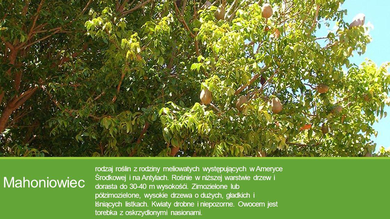 Mahoniowiec rodzaj roślin z rodziny meliowatych występujących w Ameryce Środkowej i na Antylach. Rośnie w niższej warstwie drzew i dorasta do 30-40 m